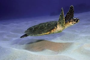 Turtle swimming in Okinawa waters
