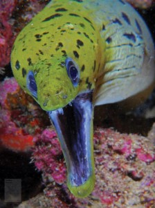 Yellow Fish with Mouth wide open