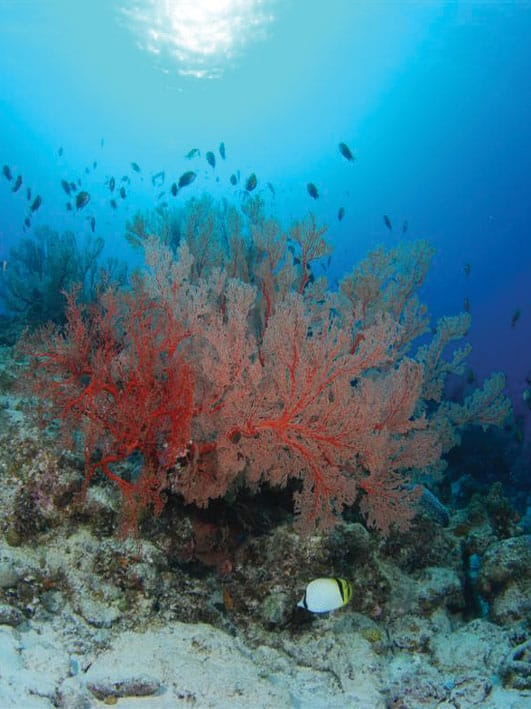 Red Coral under Okinawa Water