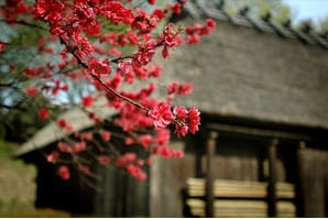 Japanese Home with Cherry Blossom