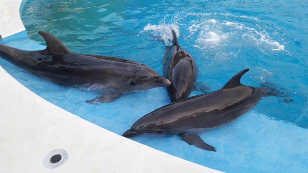 Three dolphins in shallow pool