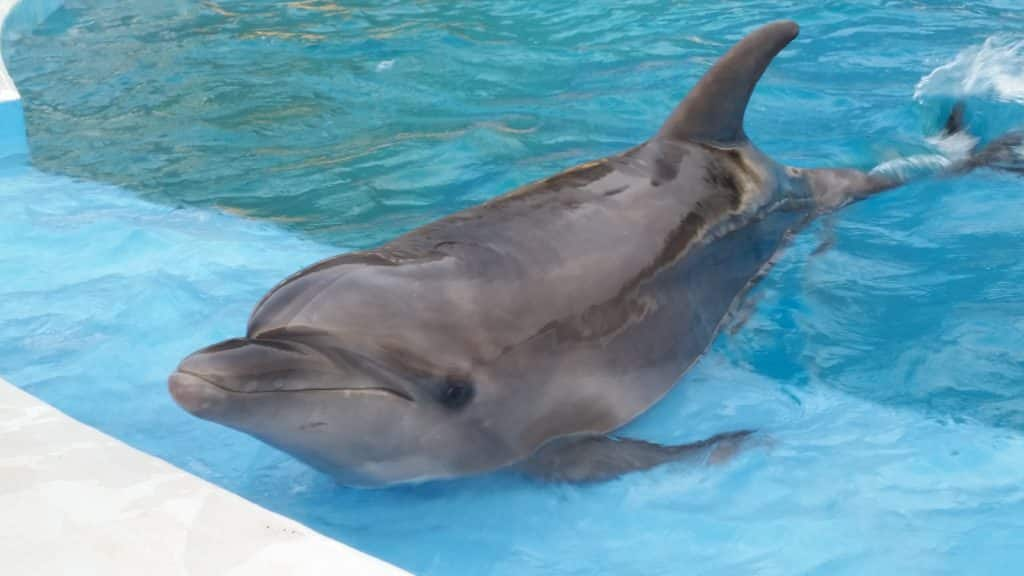 Dolphin on edge of pool at Churaumi Aquarium