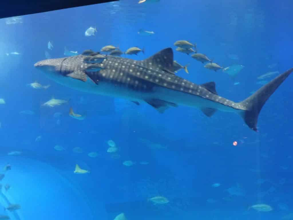 Whale shark and fish swimming alongside