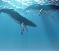 The return of the gentle giants – Okinawa Diving Update