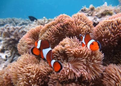 Clownfish swimming on Okinawa coral reef