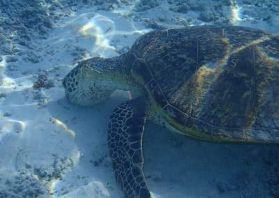 Sea Turtle at Tokashiki Beach