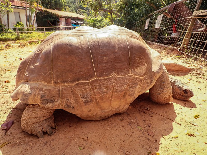 The giant tortoise in the Petting Zoo