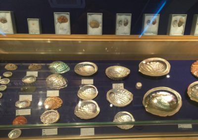 Polished shells in display case